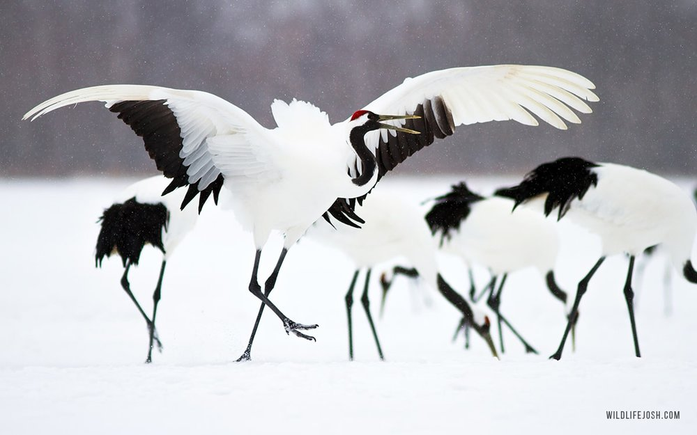 wildlifejosh_red_crowned_crane-min.jpg