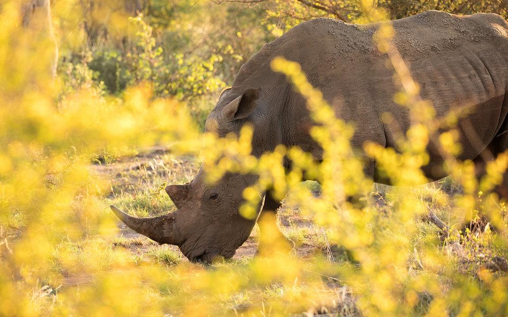 rhino_gold_2048.jpg