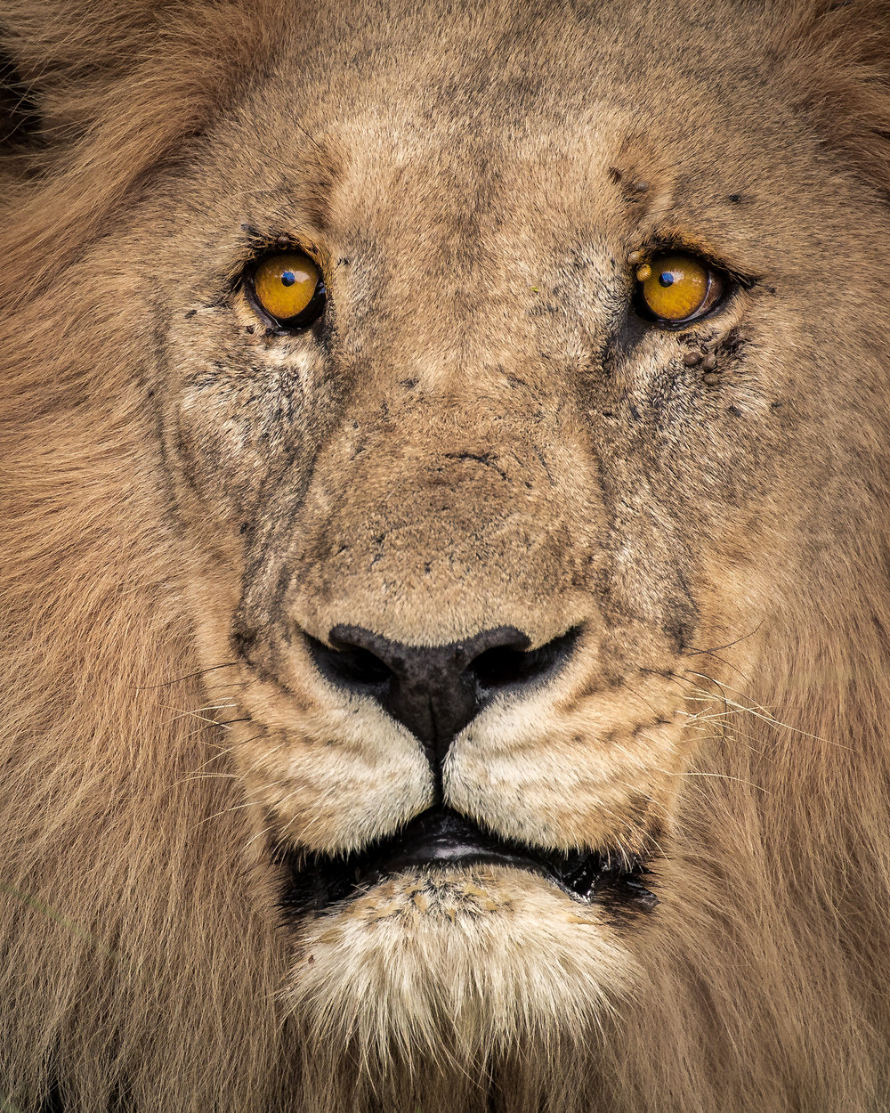 lion_tight_portrait_2048.jpg