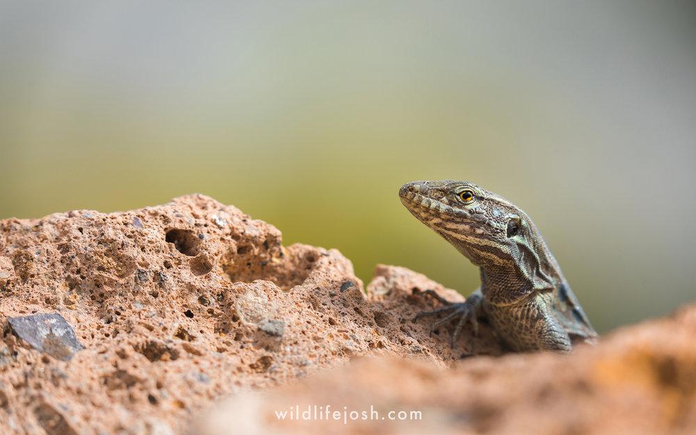 tenerife_lizard_14_2048_wm.jpg