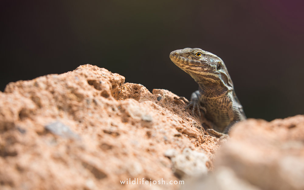 tenerife_lizard_12_2048_wm.jpg