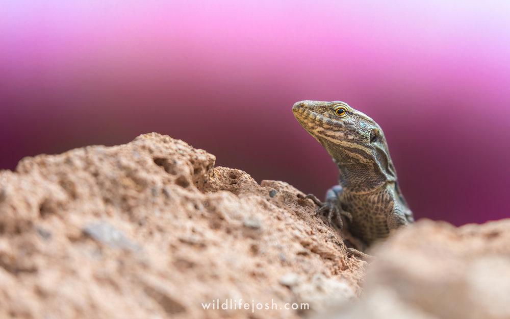 tenerife_lizard_11_2048_wm.jpg