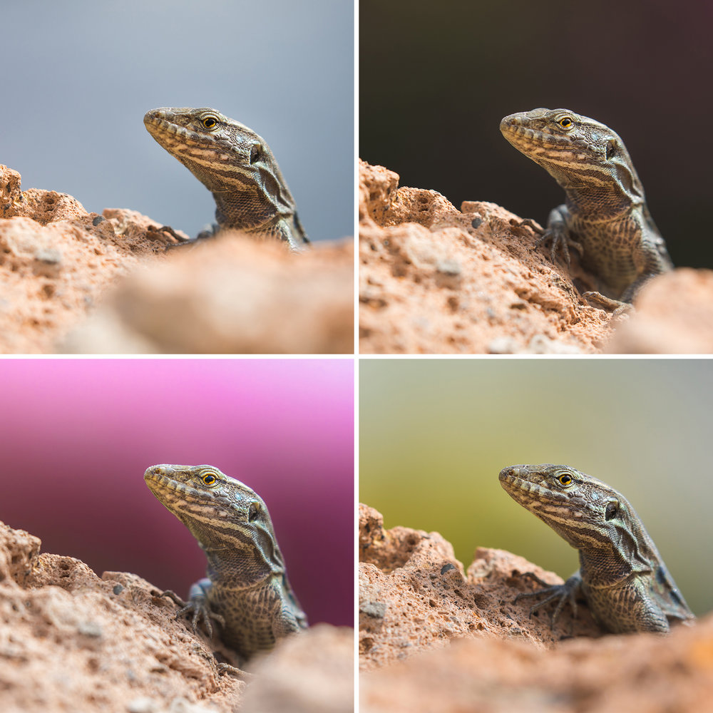tenerife_lizard_square_collage.jpg