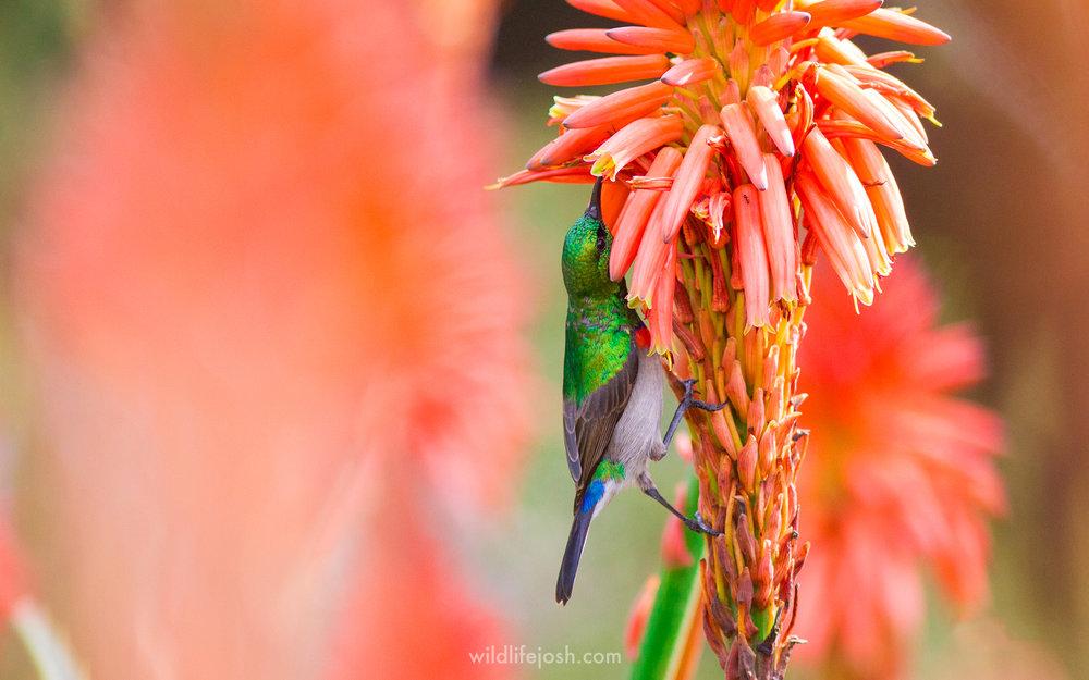 sunbird_1_2048_wm.jpg
