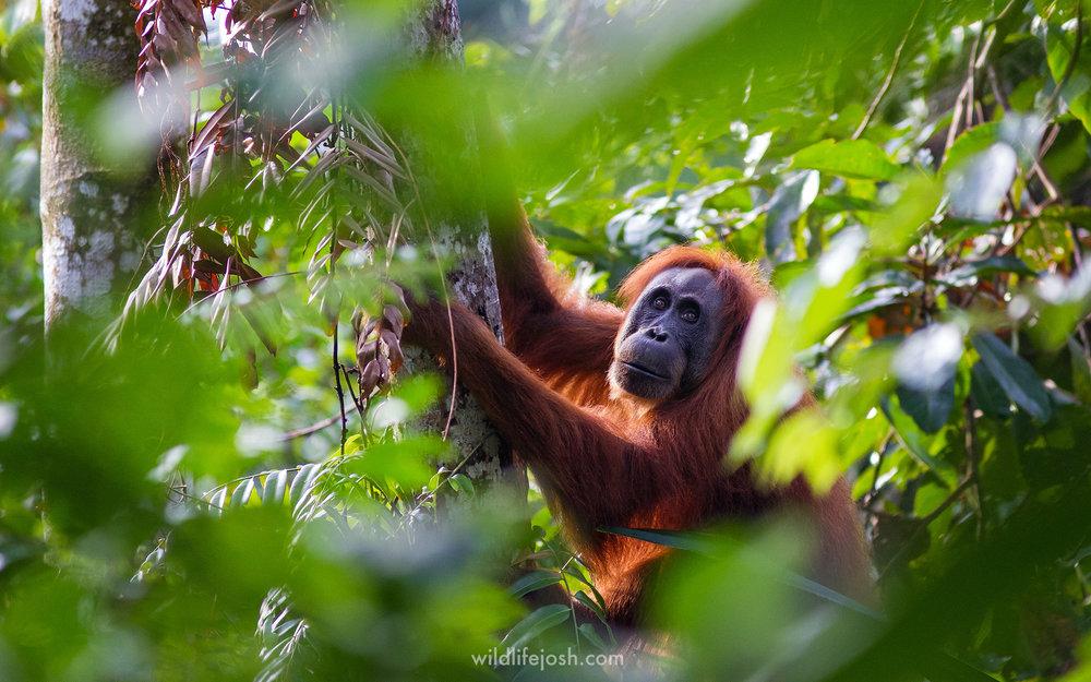 orangutan_forest_2048_wm.jpg