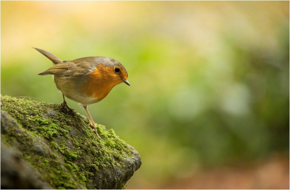 23 Autumn Robin © Helen Renouf