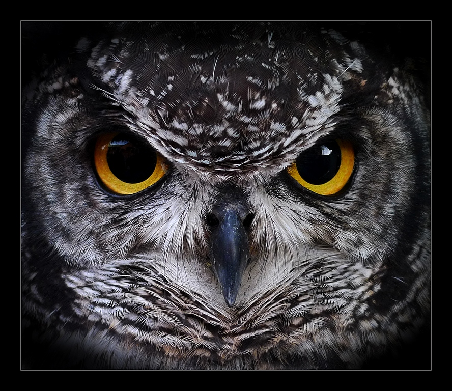 Spotted Eagle Owl © Brian Adkins