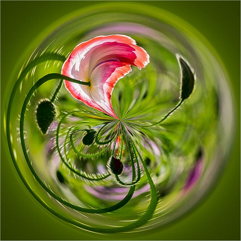 Poppy in the Round © Elaine Adkins