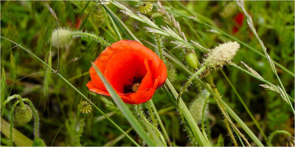 Dorset Poppies © Ann Hart