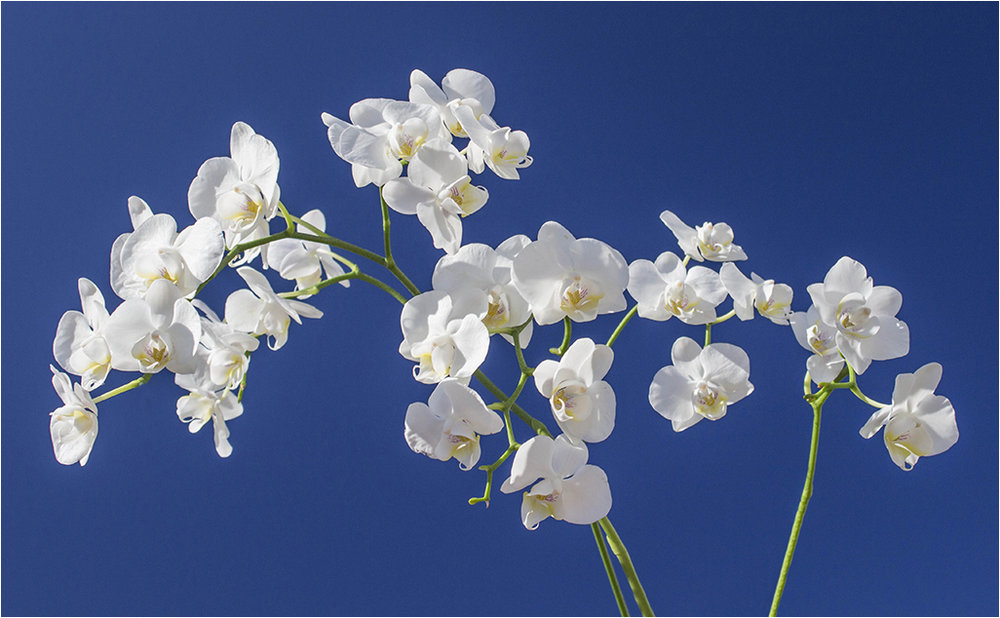 White Orchid © Neil Grimshaw