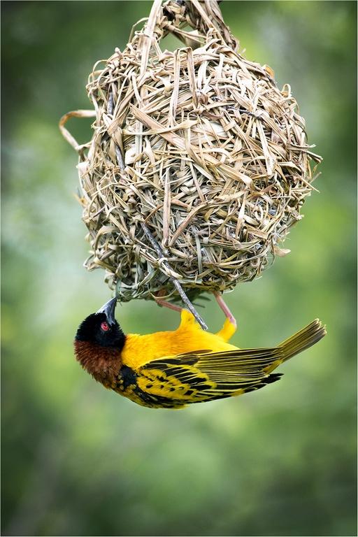 Weaver Bird © Jim Budd