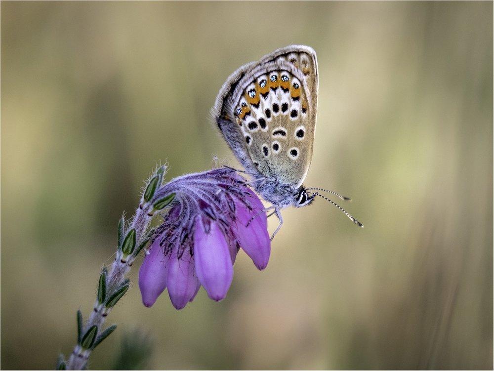 Silver Studded Blue © Jules Syrett
