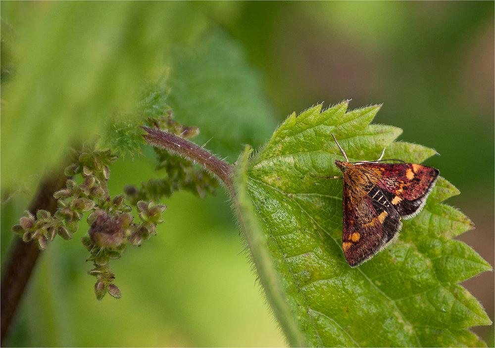 Mint Moth (Pyrausta Aurata ) on Nettle Leaf ©Lynn Rendall