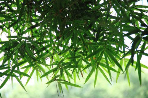 Bamboo 1 96.jpg