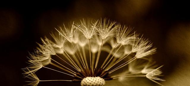 dandelion-2938939_640.jpg