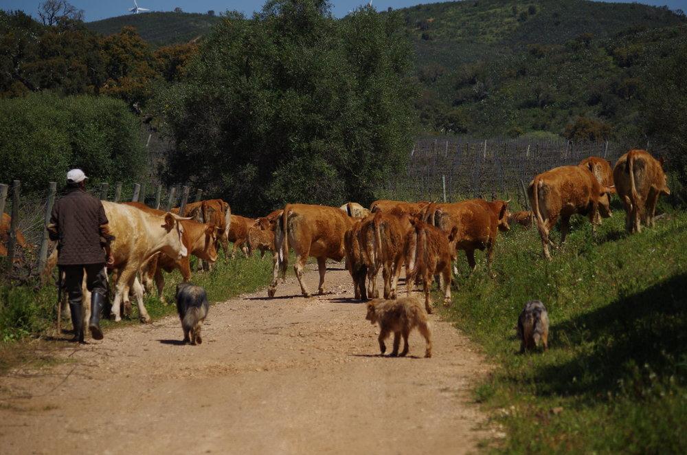 koeien (2).JPG