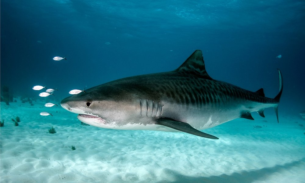Tiger Shark - These are the loners, the night sharks. These sharks are straight up introverts that hunt at