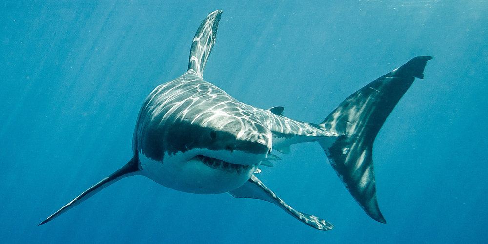 Great White Shark - These motherfuckers LIKE. HUMAN. FLESH. Stay away.  But also, good. Way too many humans on this overpopulated sphere. GW sharks are easily the most terrifying animals of all time. Don't believe me? One of its nicknames is
