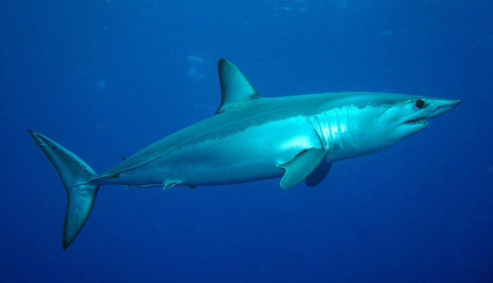 Mako Shark - These girlies are FAST. Fastest sharks in the galaxy. And mean as hell too. They're the kinds of sharks that will compliment your skirt and then turn around and make fun of it to the other Mako sharks.