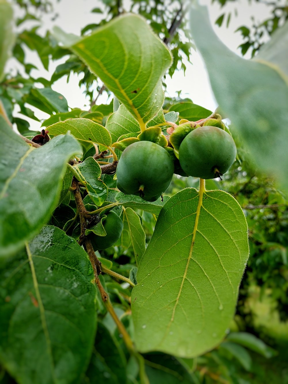 Diospyros virginiana ' Meader' American Persimmon is an especially cold hardy variety adapted to the Northeast