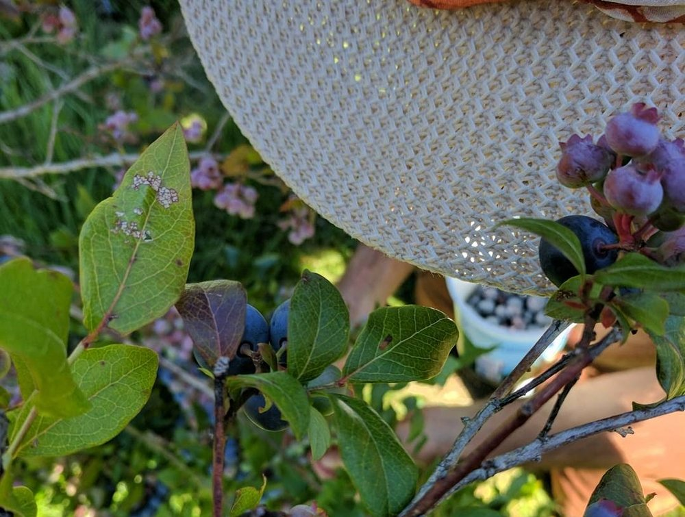 Picking blueberries in your landscape is the sweetest reward...