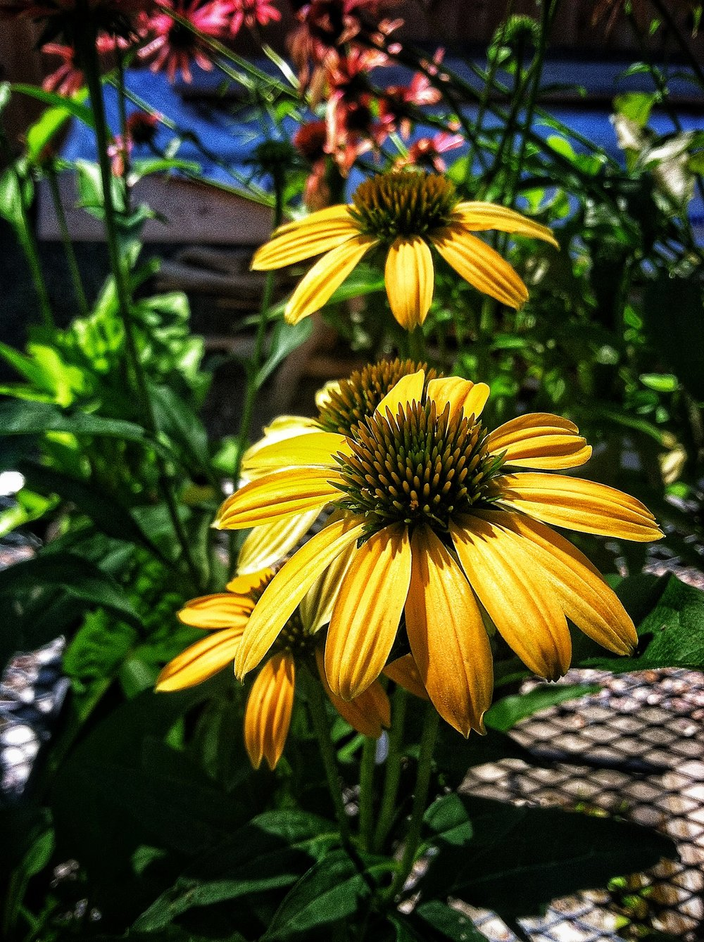 Echinacea purpurea  'Cheyenne Spirit' blooms prolifically in several shades of yellow and red.