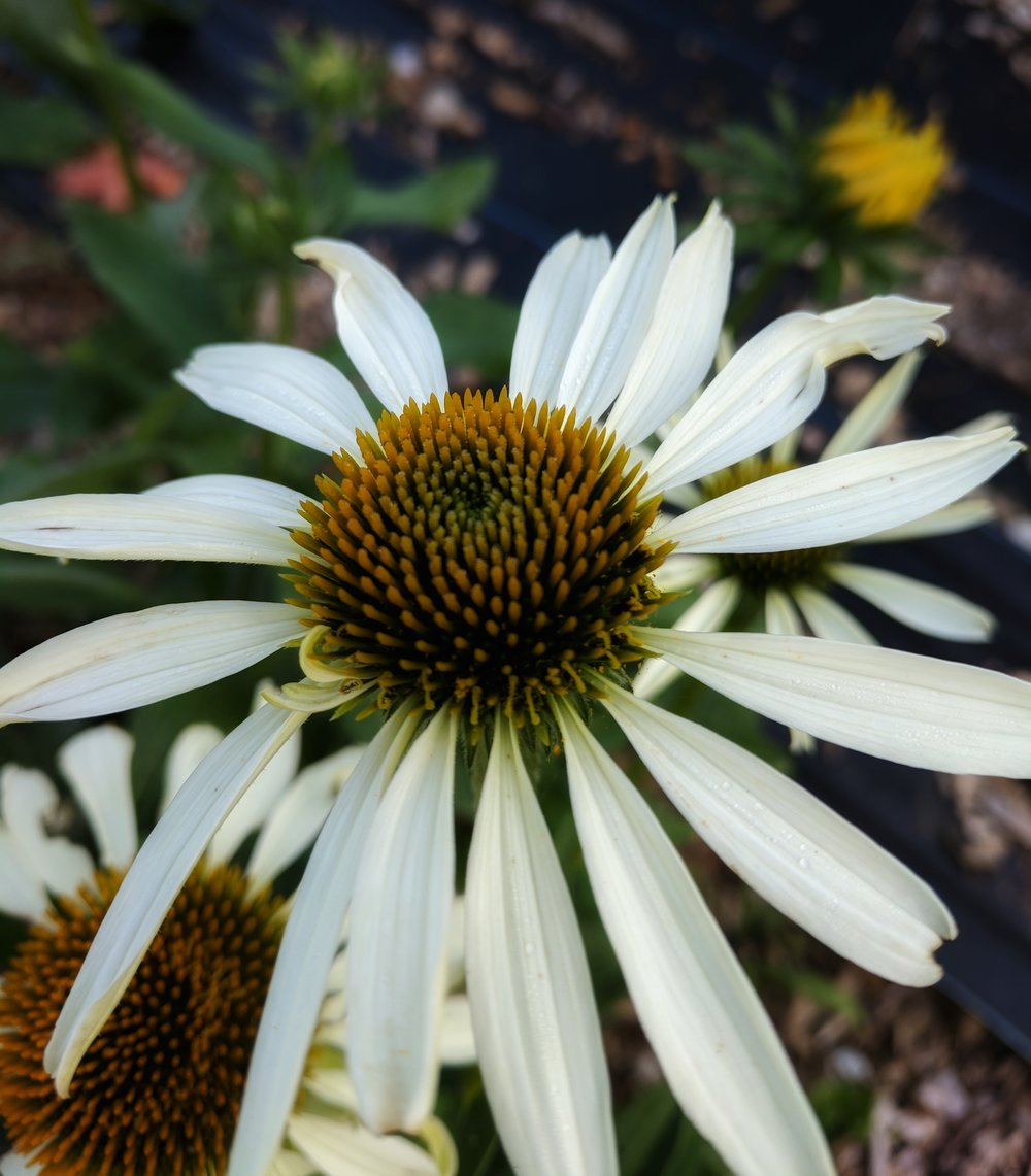 "Echinacea purpurea ' Primadonna White"" is a reliable white variety"