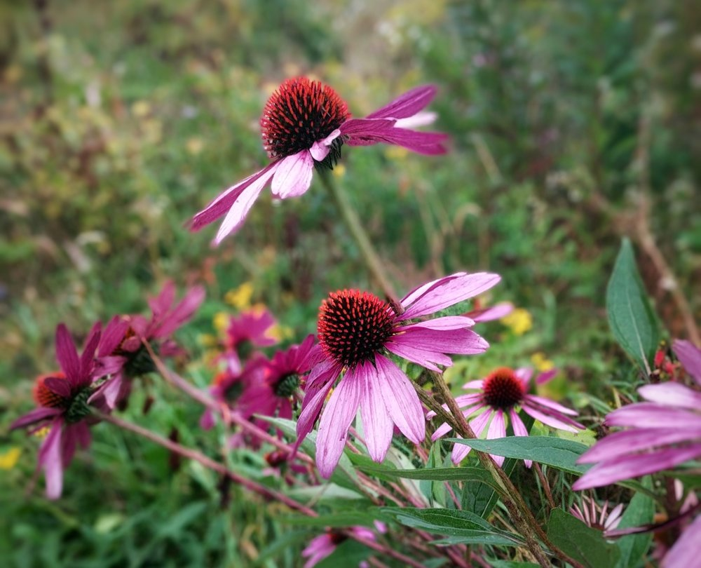 Echinacea purpurea  in full glory, a long season benefit to many kinds of bees