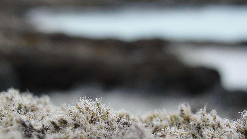 Lichen, Iceland, 2012