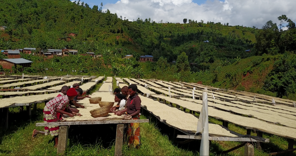 Mageyo Washing Station of SUCCAM, sun drying of coffee on uplifted tables.png