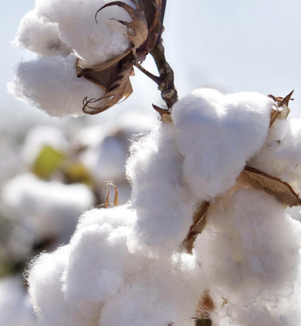 Image:  Kings of indigo - Cotton and sustainability