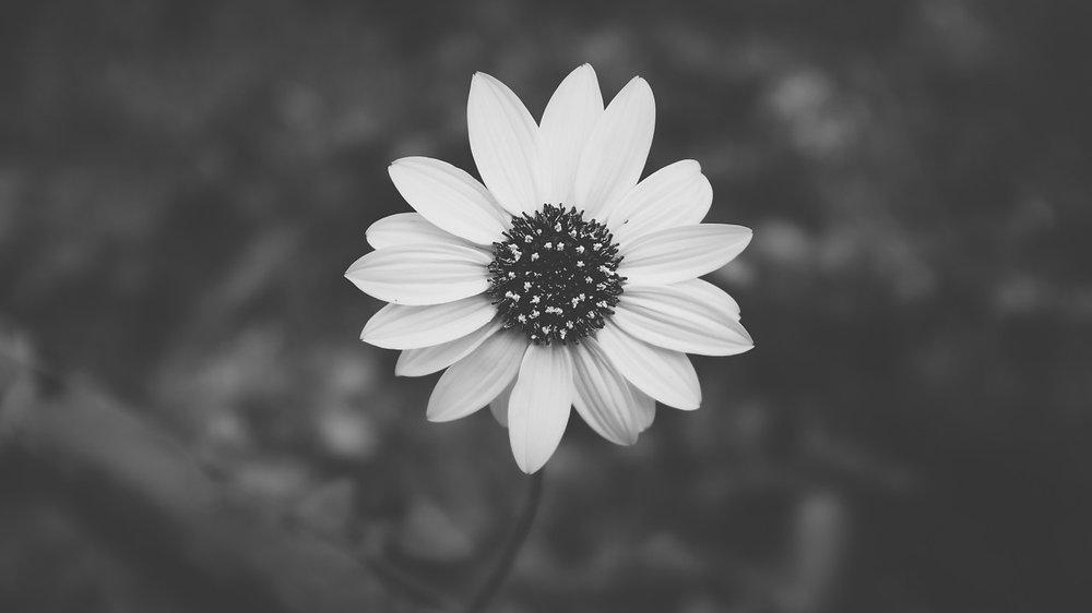 daisy-690352_1280.jpg