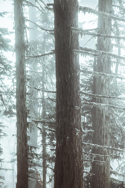 Snow_Cloud_in_the_Pines.jpg