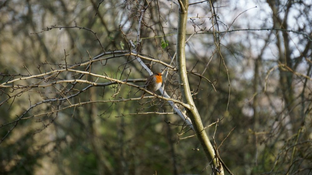 Robin on the Nettlebed Commons