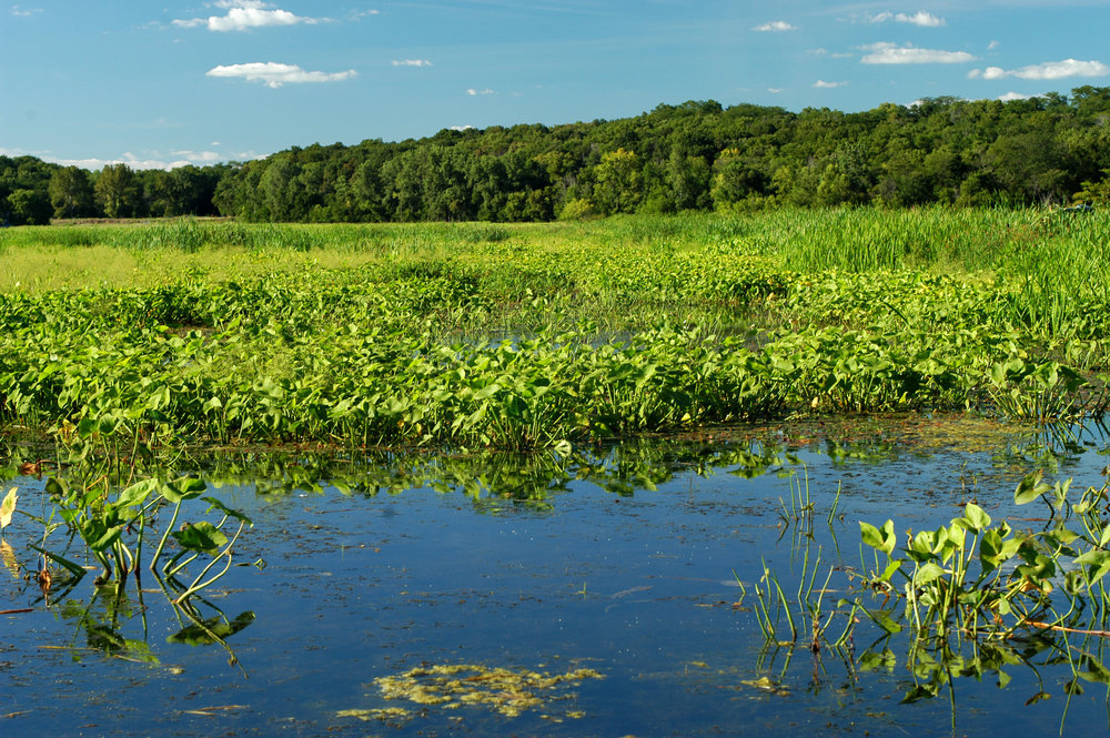 The Wetlands Initiative's    Dixon Waterfowl Refuge    is a restored wetland near Hennepin, IL.