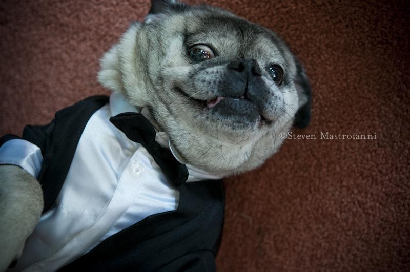 pug in a tux