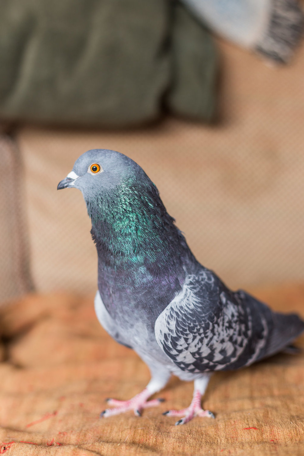 Dizzy, one of the many pigeons who live at Fauna Animal Sanctuary.