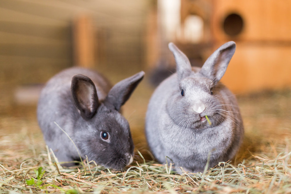 Spotty and Snowball, two of the 32 rabbits who live at Fauna Animal Sanctuary