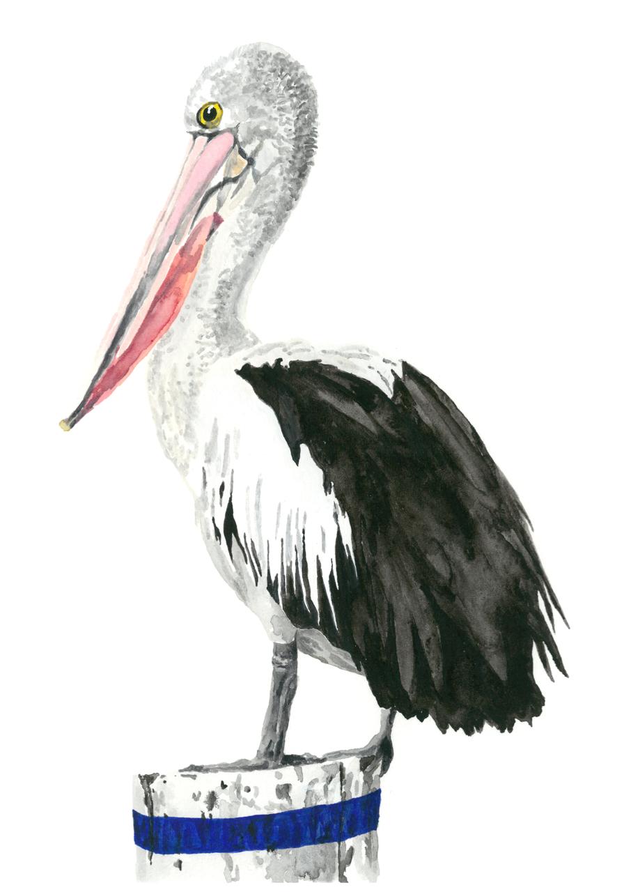 pelican 2.png