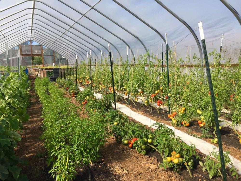 The greenhouse jungle getting ripe.