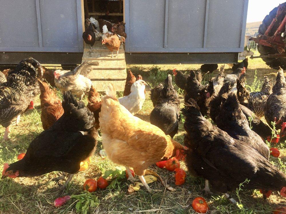 Hens enjoy incredible tomatoes, too!