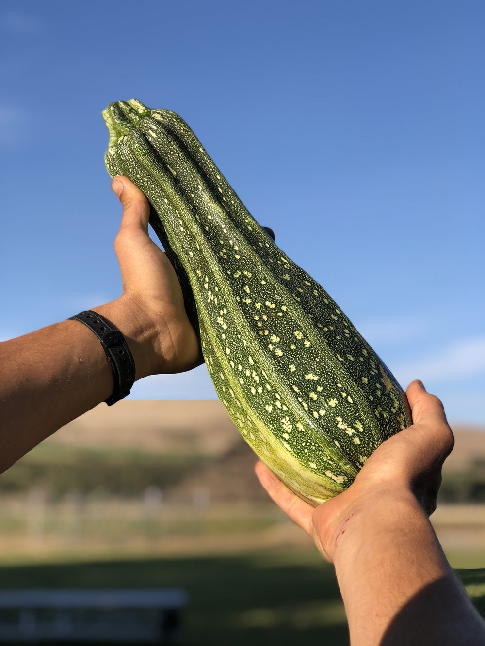 Every summer squash is a big, delicious, fruity packet of seeds.