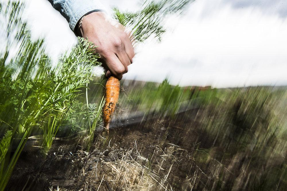 Carrot Pick Blur.jpg