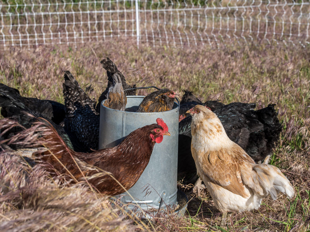 Our chickens love fresh grass. It gives them, and their eggs, major nutrition. That's why we give them fresh pasture daily.