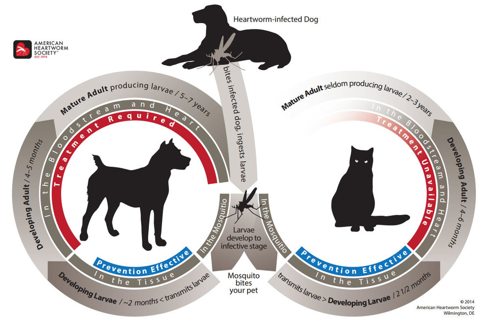 Lifecycle and Progression of Heartworms