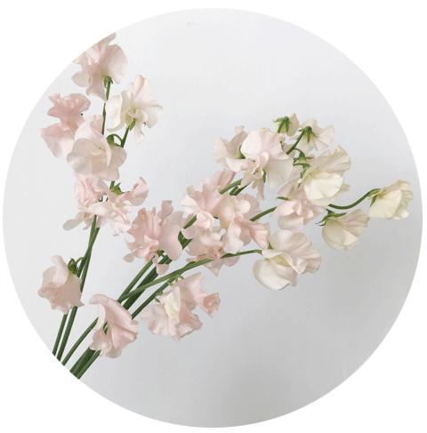 FLOWER-INDEX_SWEETPEAS.png