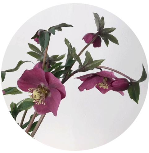 FLOWER-INDEX_HELLEBORES.png