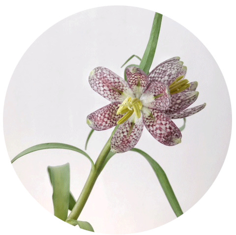 FLOWER-INDEX_FRITTILLARIA.png
