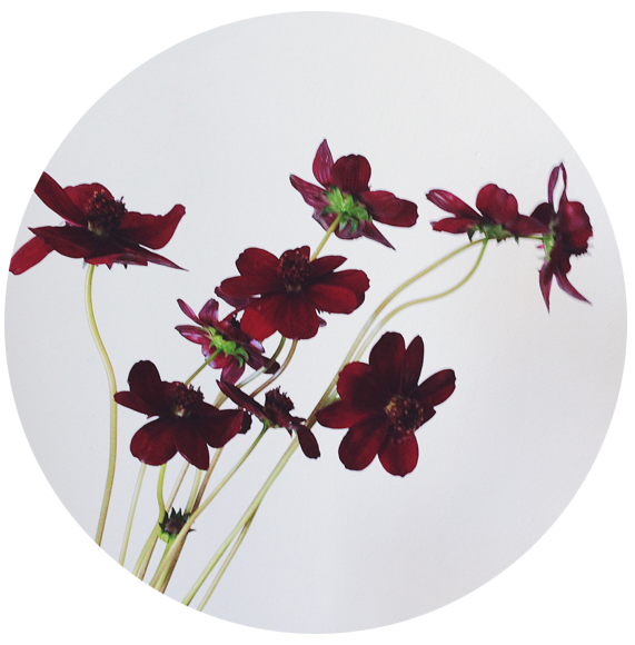 FLOWER INDEX_CHOCOLATE COSMOS.png