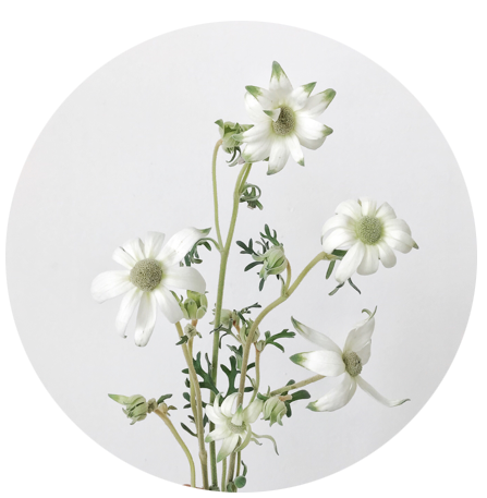 FLOWER INDEX_FLANNEL FLOWER.png
